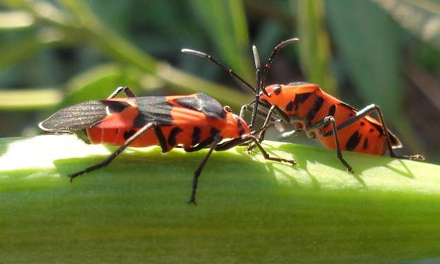 Milkweed bugs piercing the milkweed seed pod