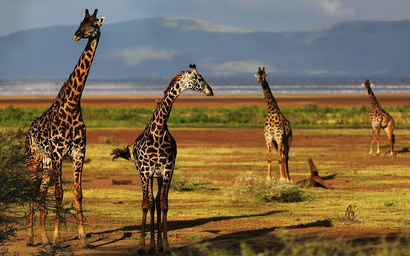 giraffe wallpapers hd pictures - photo #2