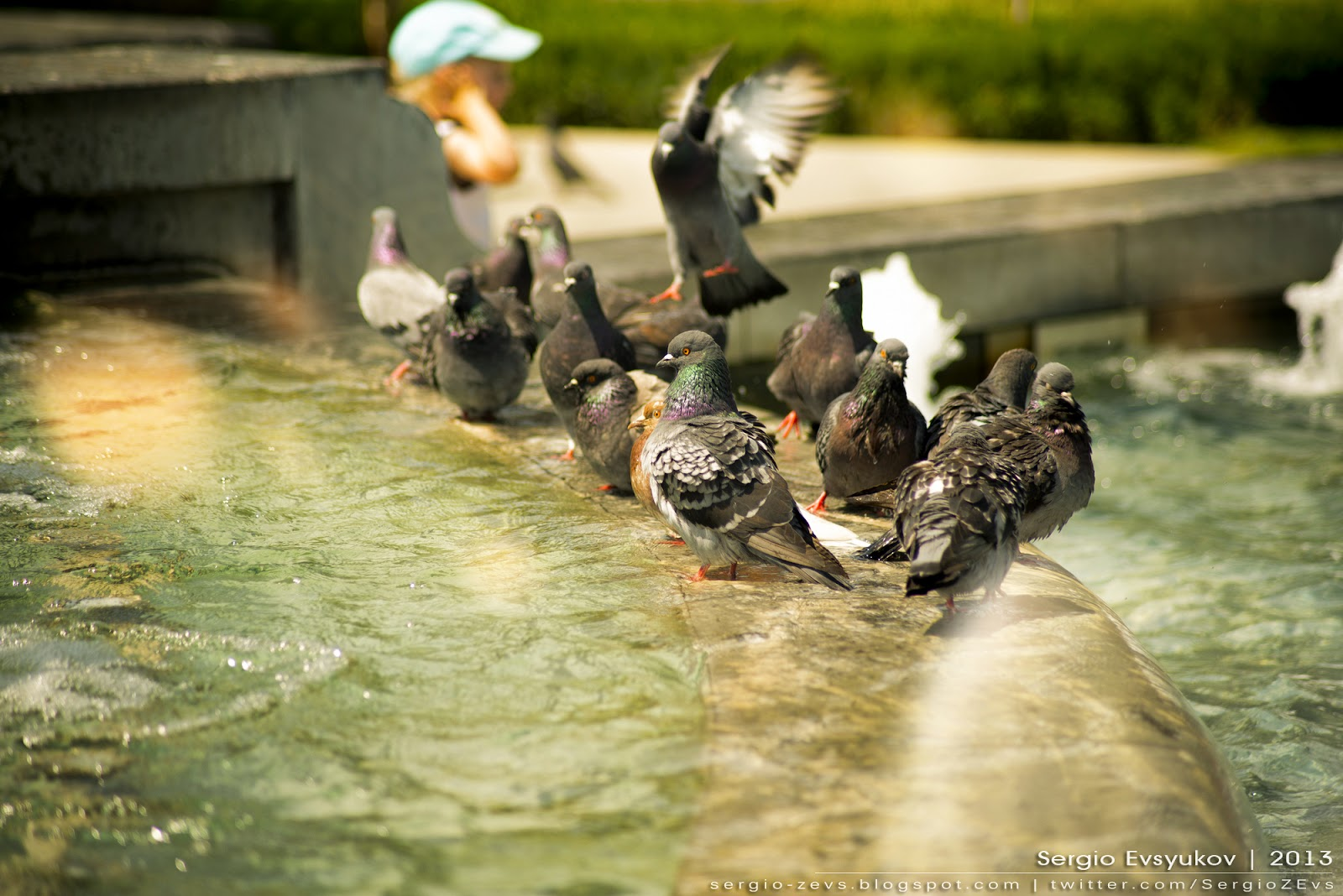 Pigeons bathe in the fountain