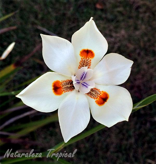 Flor de la planta Dietes bicolor