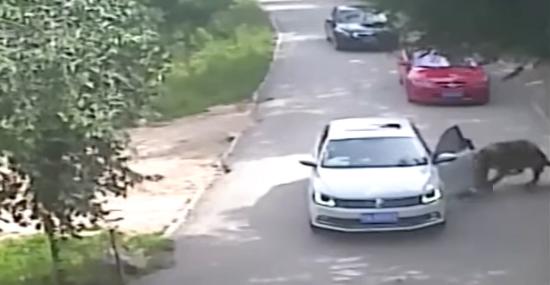 Tigre ataca mulher que desceu do carro em Safári de zoológico - Img 1