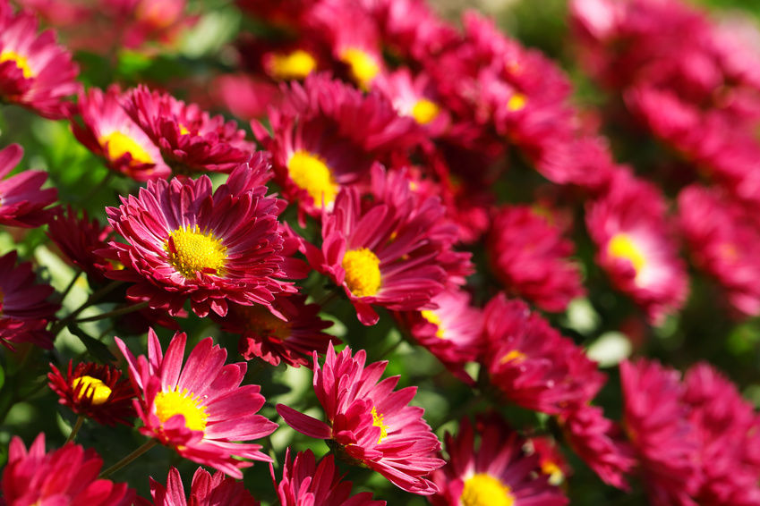 Hoa Cúc là loài hoa dễ trồng và phù hợp mọi điều kiện thổ nhưỡng