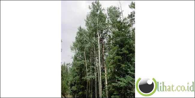 Populus tremuloides atau quaking aspen