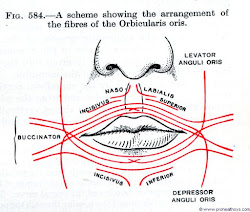 Fibres Of The Orbicularis Oris