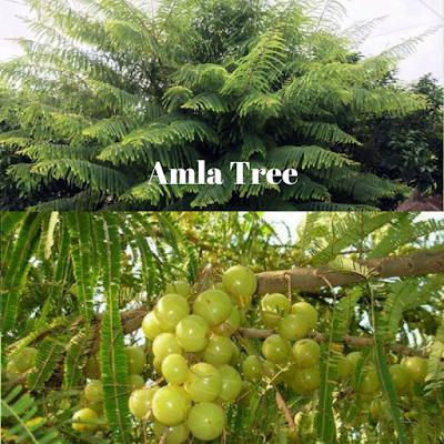 Amla Tree - Vibhu & Me