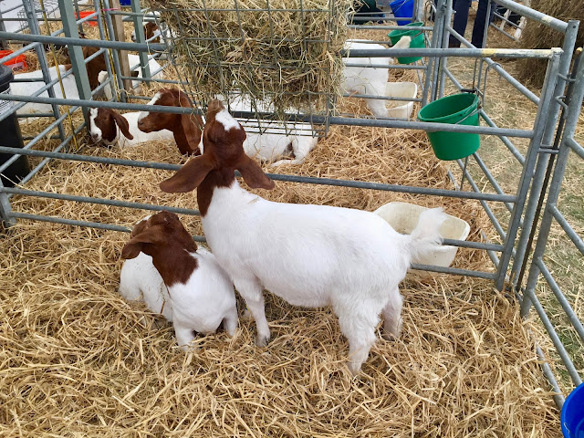 Goat tent at the Royal Highland Show, Edinburgh, Scotland