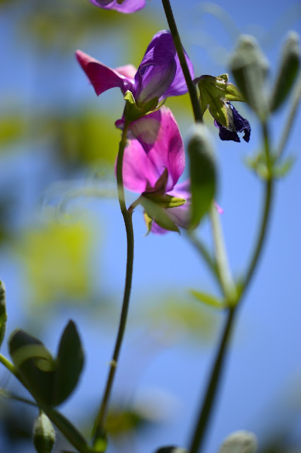 sweet peas, old spice mix, small sunny garden, desert garden, amy myers, photography