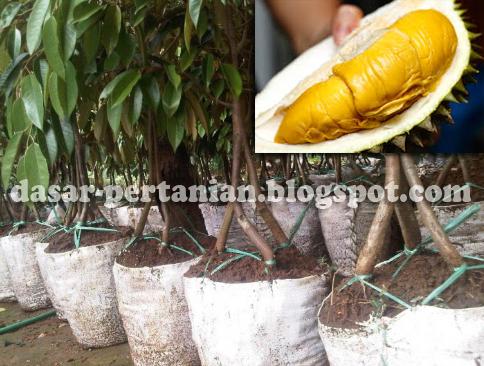 Cara Budidaya Durian Musang King Agar Berhasil