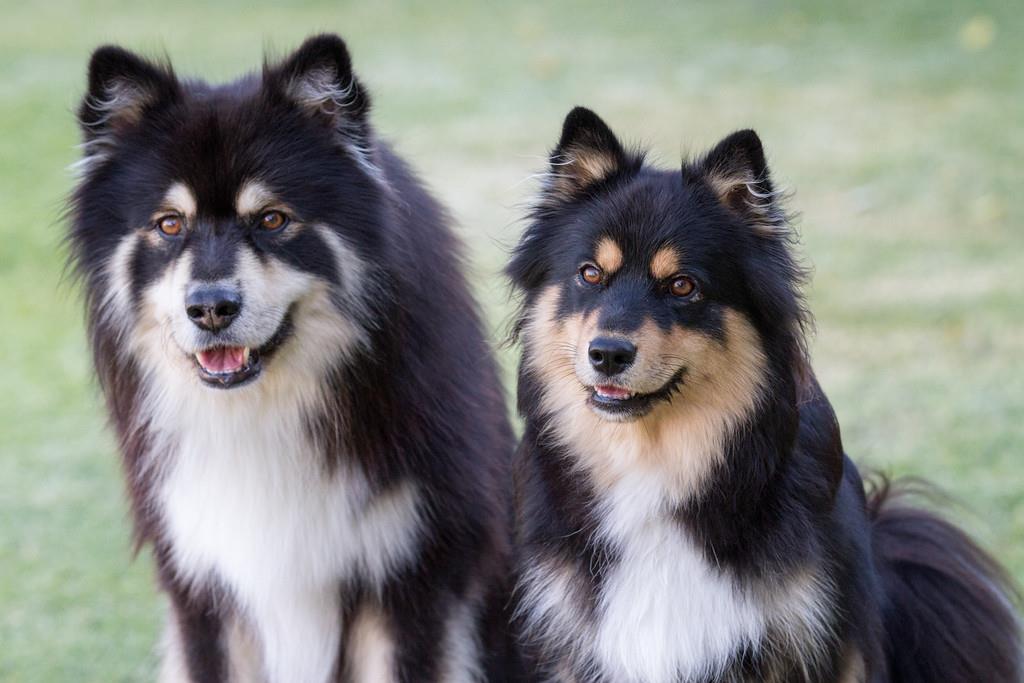 Finnish Lapphund - Breed Profile   Australian Dog Lover