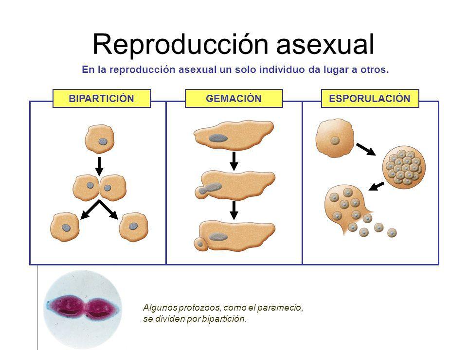 Que es reproduccion asexual y asexual