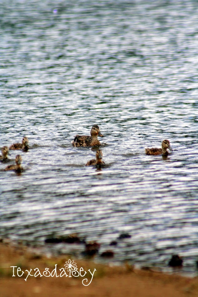 Duck family at Angel Fire New Mexico...Paradise on a mountain