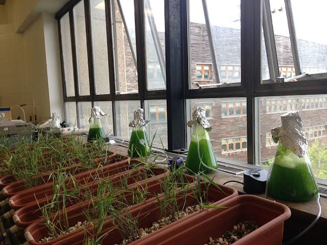 An experiment involving microalgae Alice Wickman
