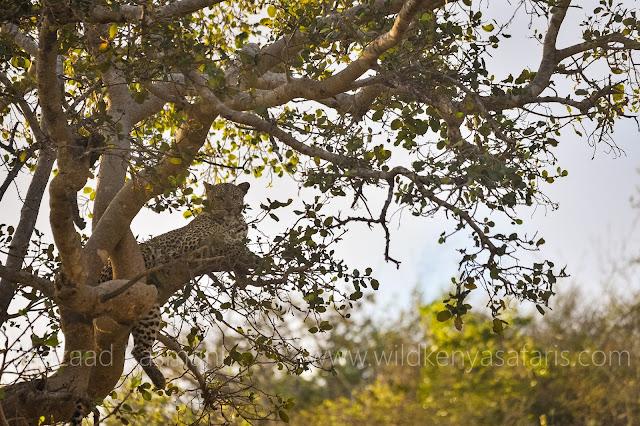 Leopard Kenya, Leopard Taita Hills, Leopard Lumo Sanctuary, Wild Kenya Safaris, Birding Safari Kenya, Shazaad Kasmani, www.wildkenyasafaris.com, Wildlife Diaries, Wildlife Kenya, Diani Beach Safaris, Taita Hills Safari, Saltlick Lodge, Lions Bluff Lodge, Safari in Kenya, Wildlife Kenya Safaris, Dream of Kenya Safaris, You and Nature safaris