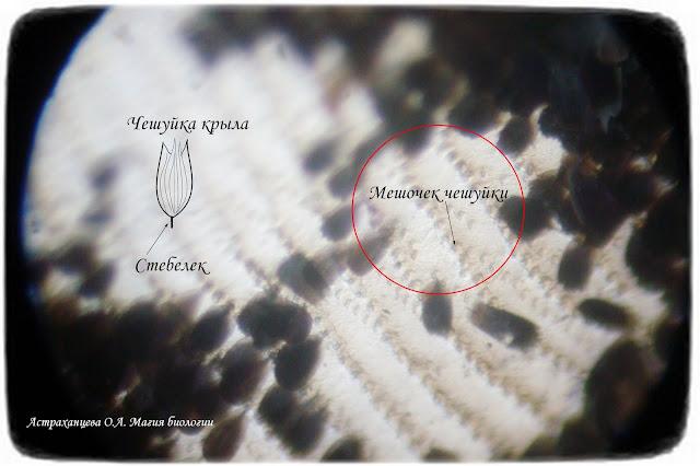 Чешуйки-крыла-бабочки-под-микроскопом