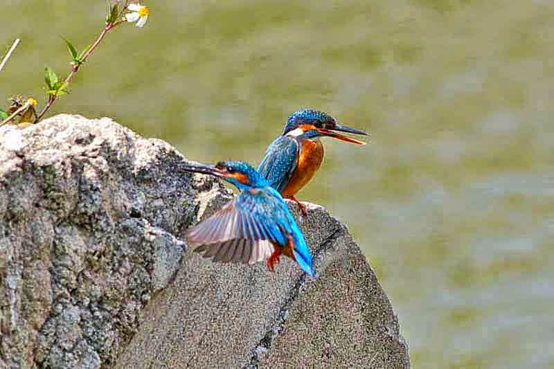 one bird perched, another kingfisher landing