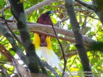 Lesser Birds of Paradise picture created using Fujifilm HS50EXR