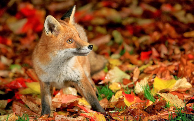 Vos tussen de herfstbladeren