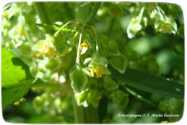 stroenie-okolocvetnika-i-chashechki-cvetka-magija-biologii-shhavel
