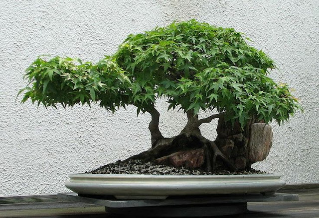 cây bonsai dep