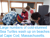 http://sciencythoughts.blogspot.com/2018/11/large-numbers-of-cold-stunned-sea.html