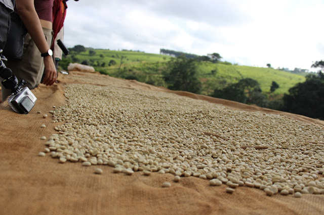 Coffee beans drying in the sun - Satemwa Tea Estate, Malawi