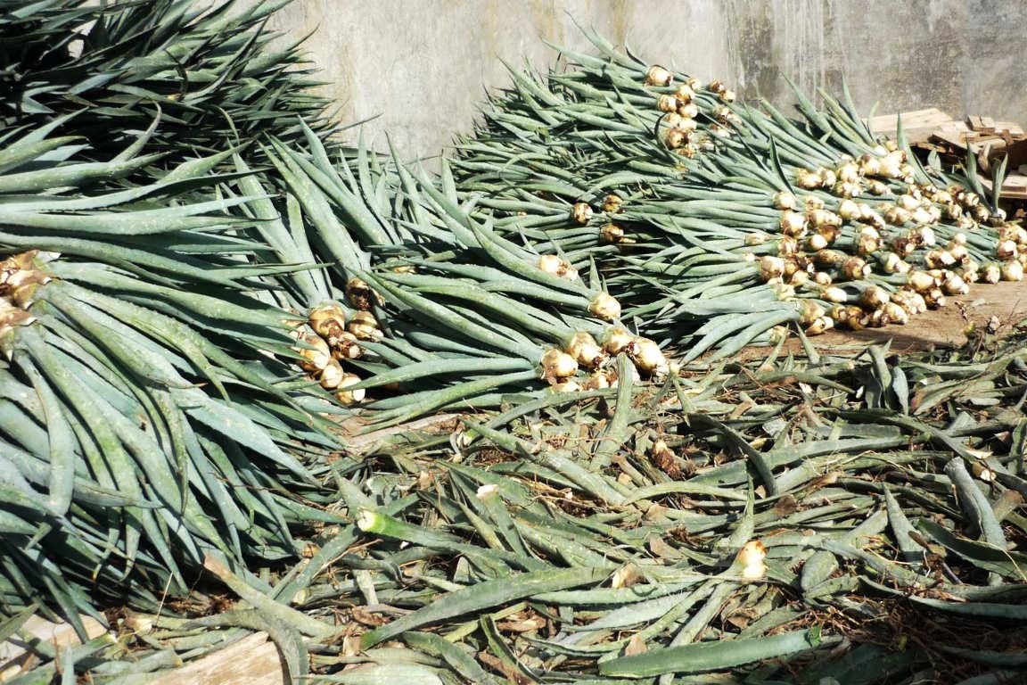 Plantas de maguey Espadín para la siembra en el distrito de Ejutla, Oaxaca.