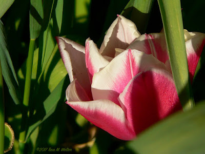 Peppermint Stripe Tulip, side view ©2017 Tina M. Welter