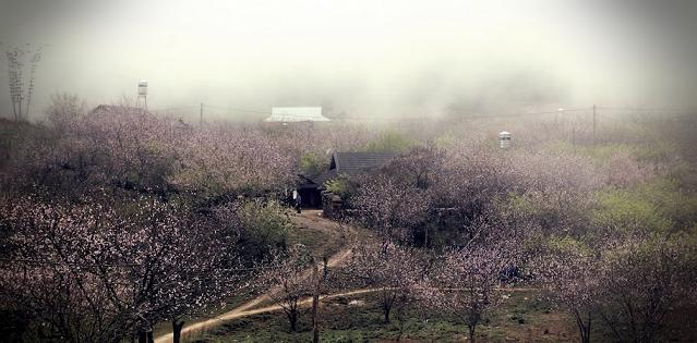musim bunga perkebunan teh moc chou vietname