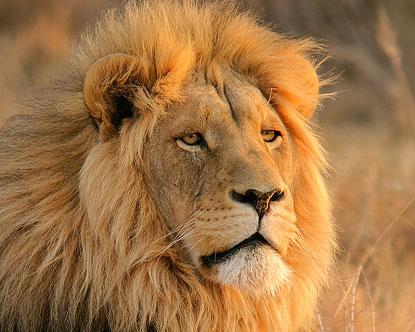 Beautiful Pictures: Cute Lions