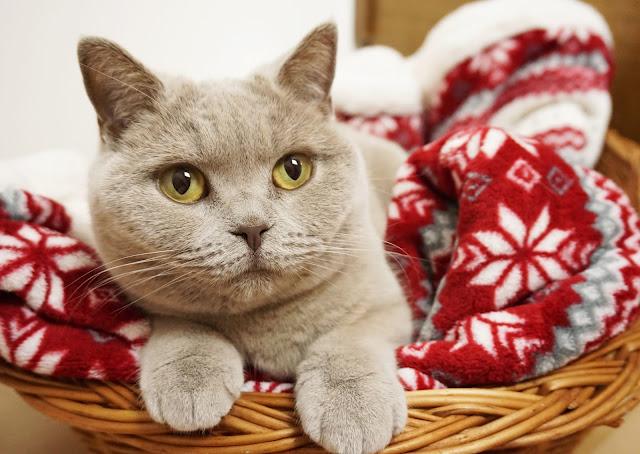 Adventszeit - Vorfreude auf Weihnachten Kazte, cat, British Shorthair, christmas