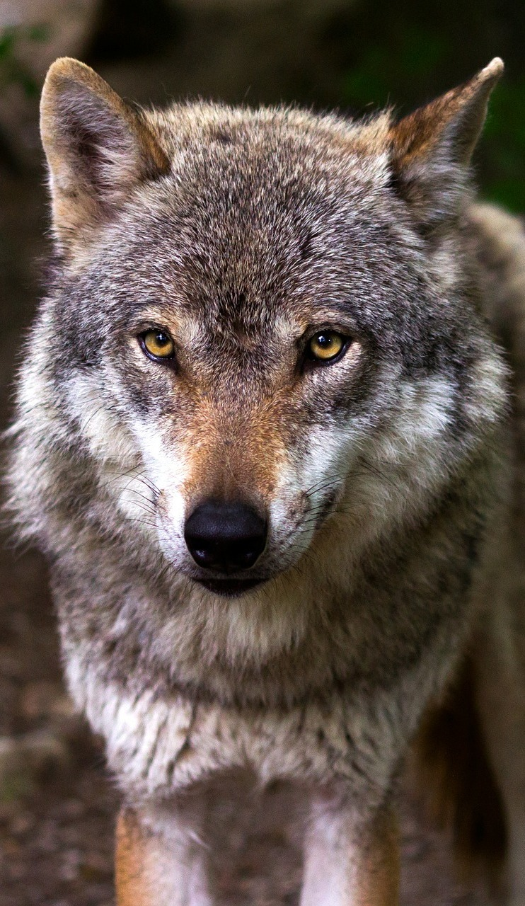 Portrait picture of a wolf.