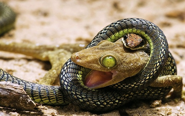 Amazing battle between snakes and a lizard [Video]