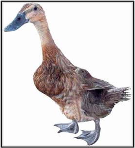 5500 Gambar Kaki Hewan Bebek Gratis Terbaik