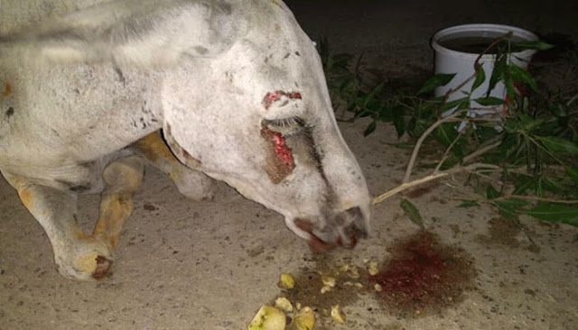 Donkey Who was Tortured Brutally By Political Supporters of a Party Passes Away