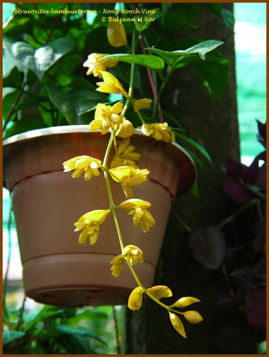 Petraeovitex Bambusetorum Nong Nooch Vine