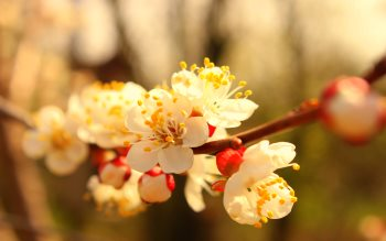 Wallpaper: Spring blossom