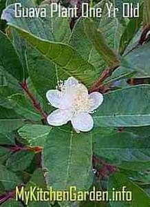 Picture of Guava Flower on one year old guava tree