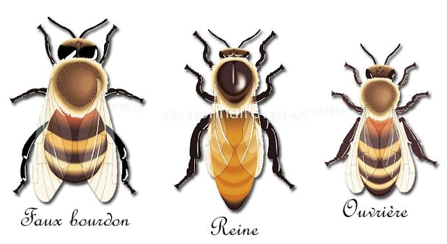 faux bourdon, reine, ouvrière ,abeilles