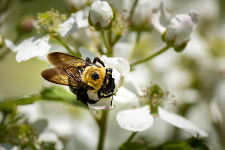 A bee collecting pollen on a white wild rose