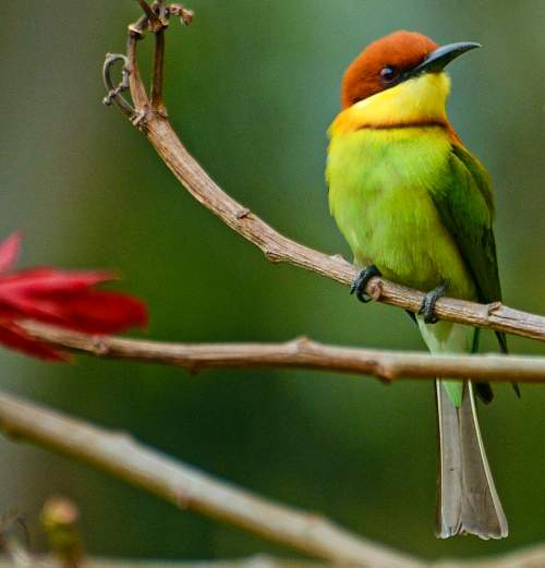 Birds of India - Photo of Chestnut-headed bee-eater - Merops leschenaulti