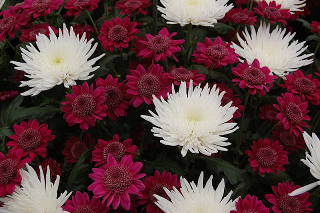 White and Red Chrysanthemums