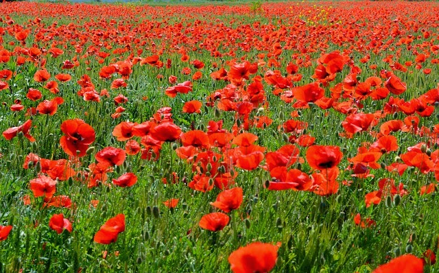 Red Poppies of Flanders Fields