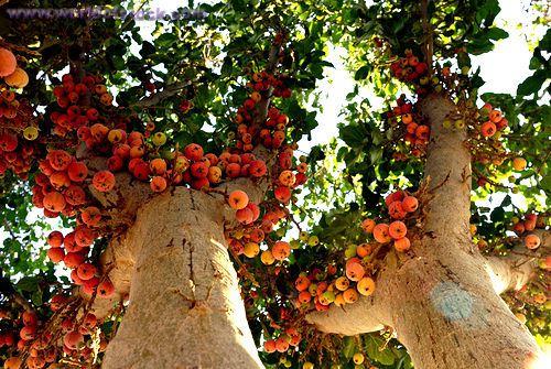 Manfaat buah tin bagi manusia