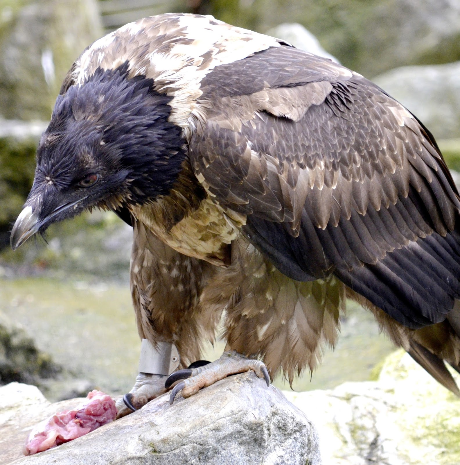 Picture of a bearded vulture eating prey.