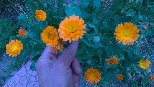 Calendula oil may have antifungal, anti-inflammatory, and antibacterial properties that might make it useful in healing wounds, soothing eczema, and relieving diaper rash.