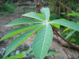 Image result for daun ubi kayu