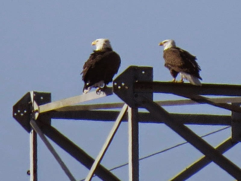 Nature On The Edge Of New York City Eagles And Ravens Growing Fond Of Nyc