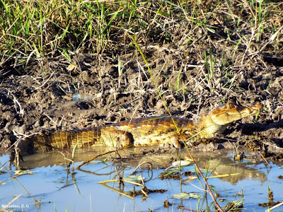 Jacaré, Jacaretinga, Jacare Tinga,  Alligator, Crocodilos, Caiman, Crocodilus, caiman crocodilus, Tocantins, amazônia, jacare, repteis, jacare de oculos, Common Caiman, Spectacled Caiman, Crocodile, fotos jacarés, bicho, animais