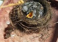 Mengajari Makan EF Pada Anak Burung Anis Merah