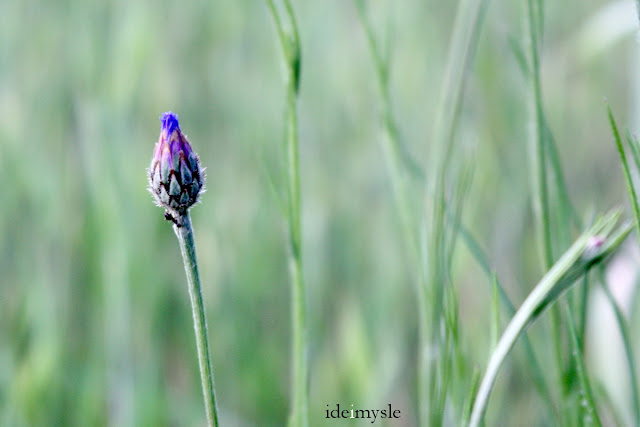 modrak, centaurea cyanus, cornflower, jadalne chwasty